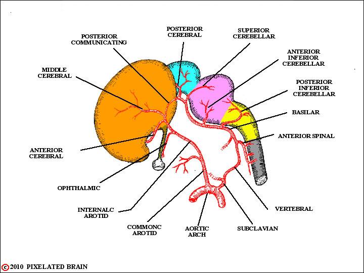 Pixelated Brain: Neuroanatomy for Medical Students: Module 10 ...