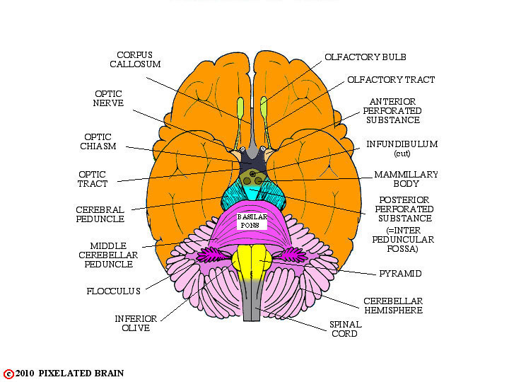 Stock Vector Vector Human Brain Diagram Side View With Parts Cerebrum Hypothalamus Thalamus Pituitary besides SHEEP 20BRAIN 20LAB 20 PANION also PrintSheepBrain additionally Subject furthermore 4586560. on diencephalon brain stem sagittal view labeled