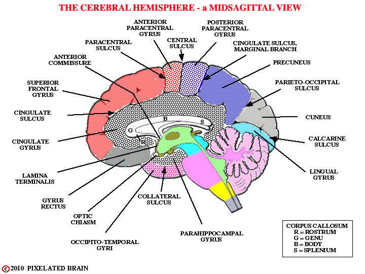 midsagittal view brainMidsagittal Section Of The Brain Labeled