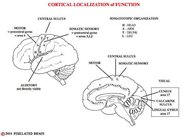 localization of brain Full-text (pdf) | since the first report of an aphasic patient by paul broca, the localization of brain function has been disputed for 150 years in lesion studies.