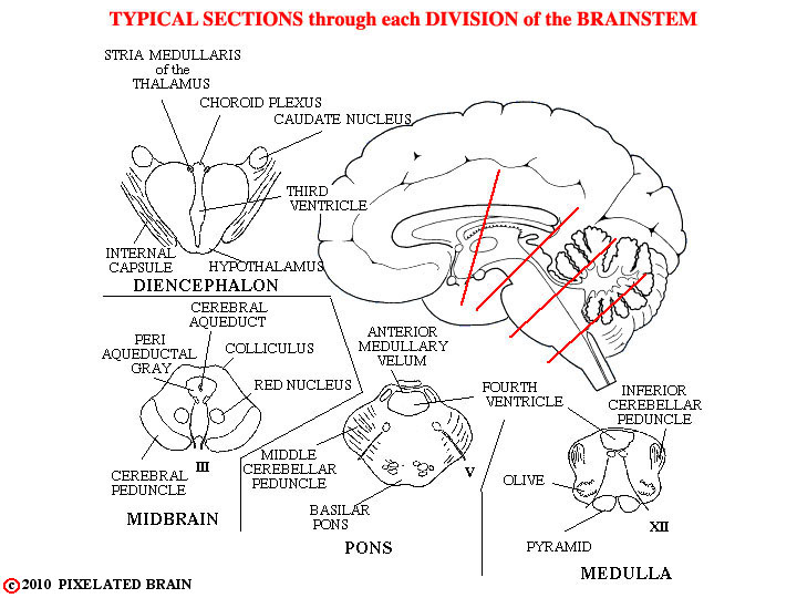 Pixelated Brain: Module 2, Section 5 - Divisions of the brainstem