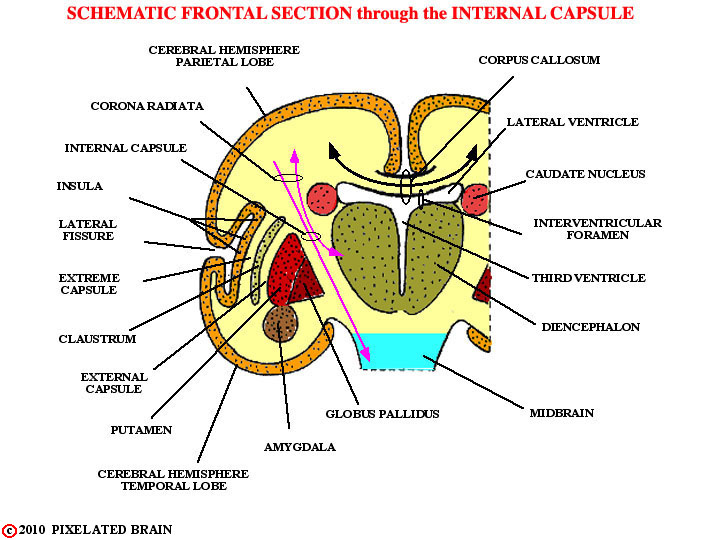 Pixelated brain schematic frontal section through the internal schematic frontal section through the internal capsule ccuart Images