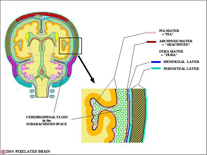 Epidural Space Brain Diagram - Complete Wiring Diagrams •