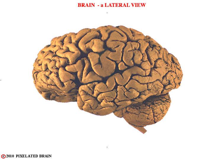 Pixelated Brain Neuroanatomy For Medical Students