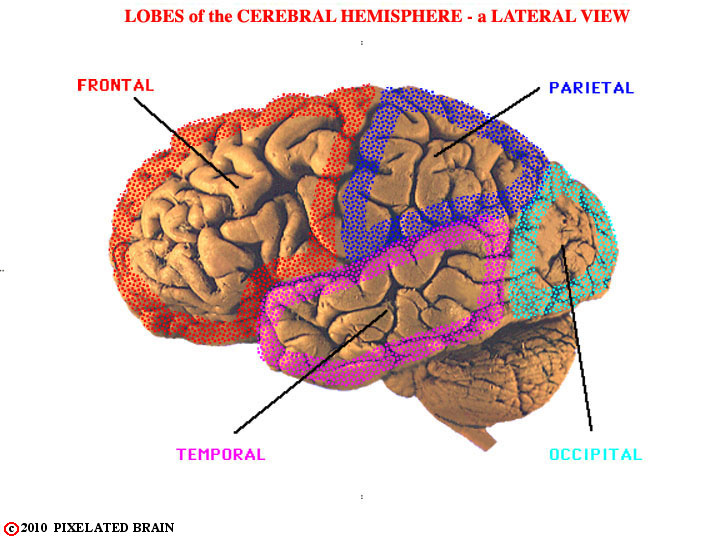 Lobes of The Cerebral Hemisphere Lobes of The Cerebral