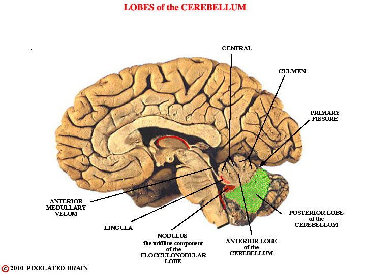 Pixelated Brain: Module 5, Section 1 - Gross features of ...