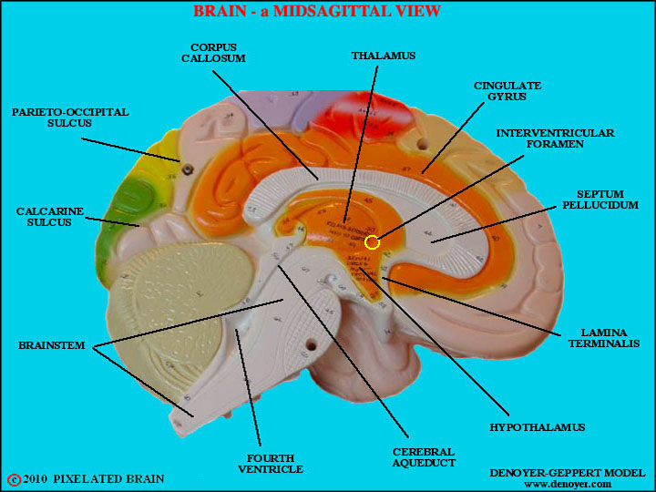 Model Brain Diagram - DIY Wiring Diagrams •