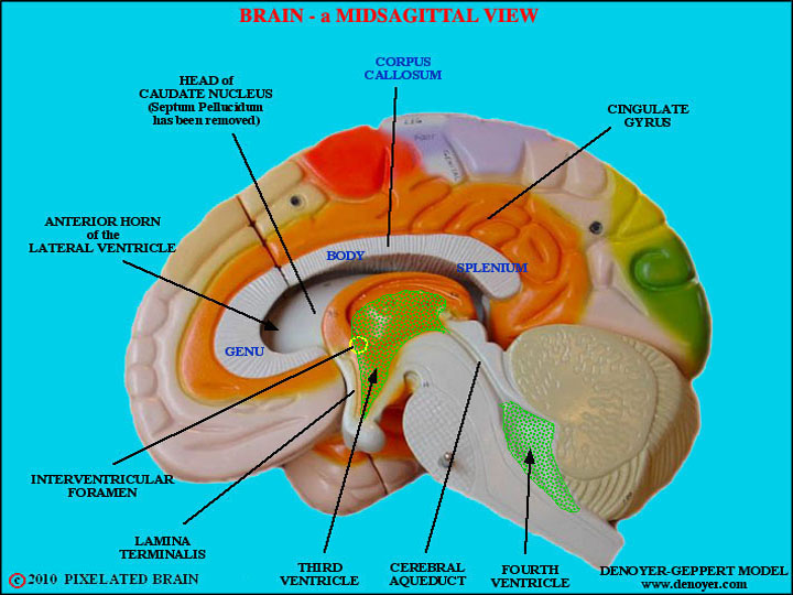 The Skull In Infancy And Childhood furthermore Upper Extremity MRI further Im Pretty Near Appalled Out in addition The Brain Diagram Labeled as well Anatomy Of Meninges Ventricles Cerebrospinal Fluid. on right lateral view of brain labeled